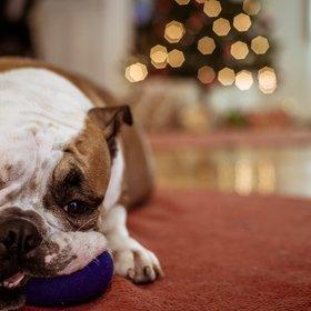 family dog at Christmas